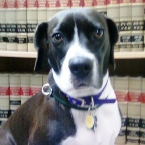 Do Courts Allow Dog Pain and Suffering?